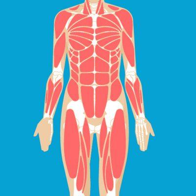 muscular1-182